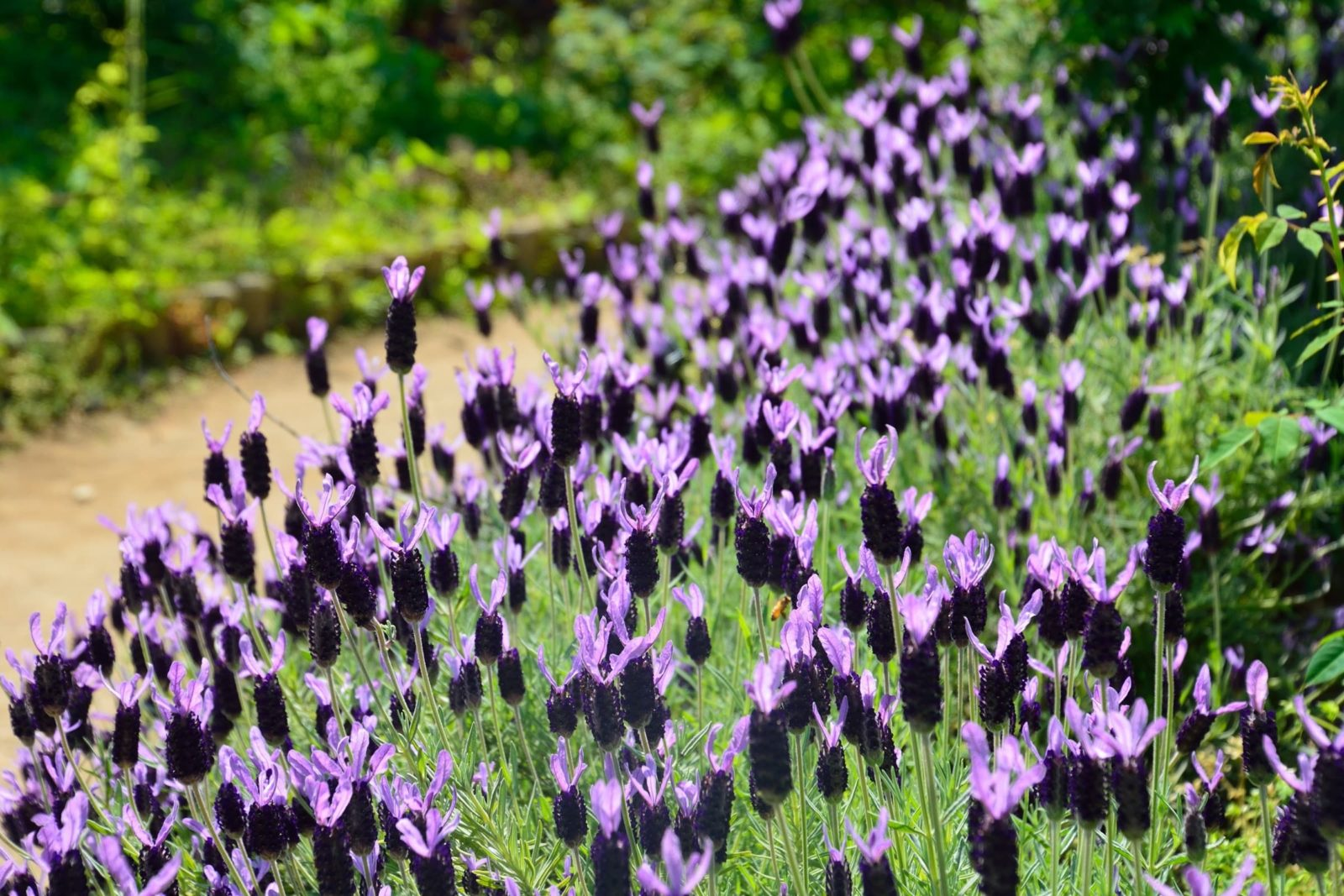 French lavender growing next to a garden path