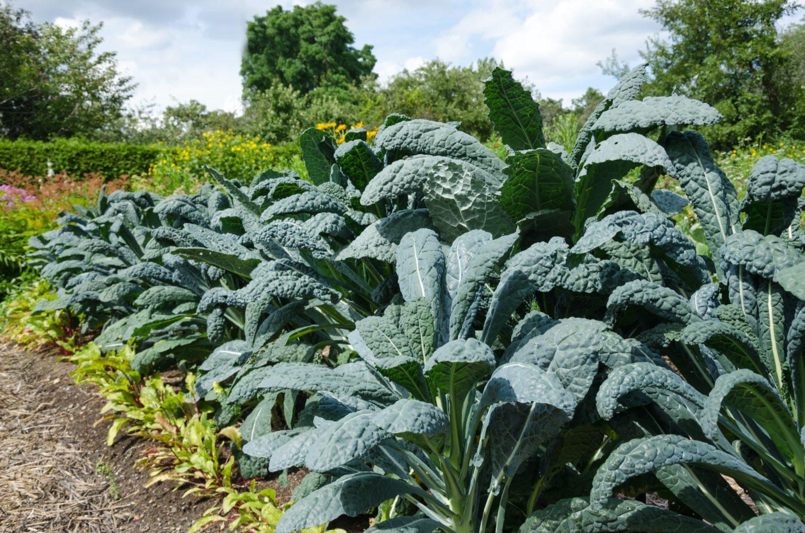home grown kale