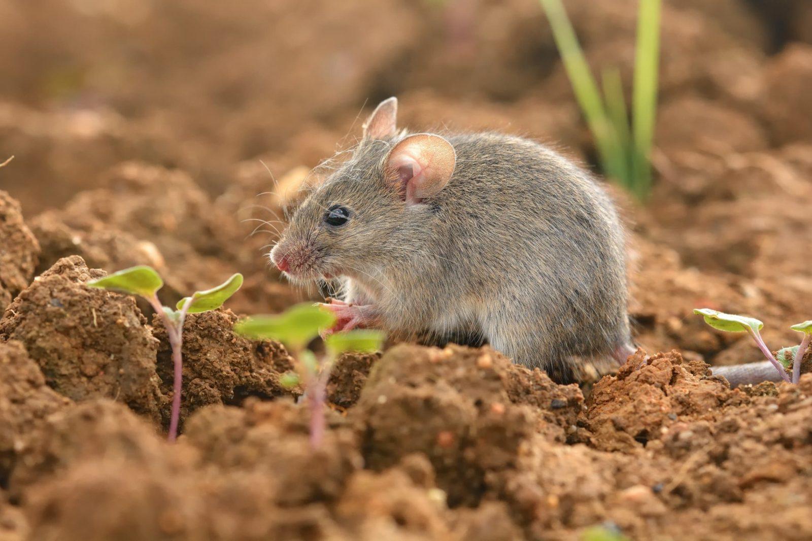mouse in a garden