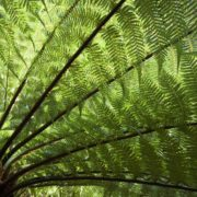 underside of a tree fern