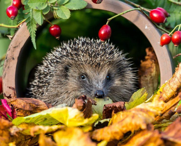 headgehog amongst garden foliage