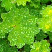 garden alchemilla covered in raindrops
