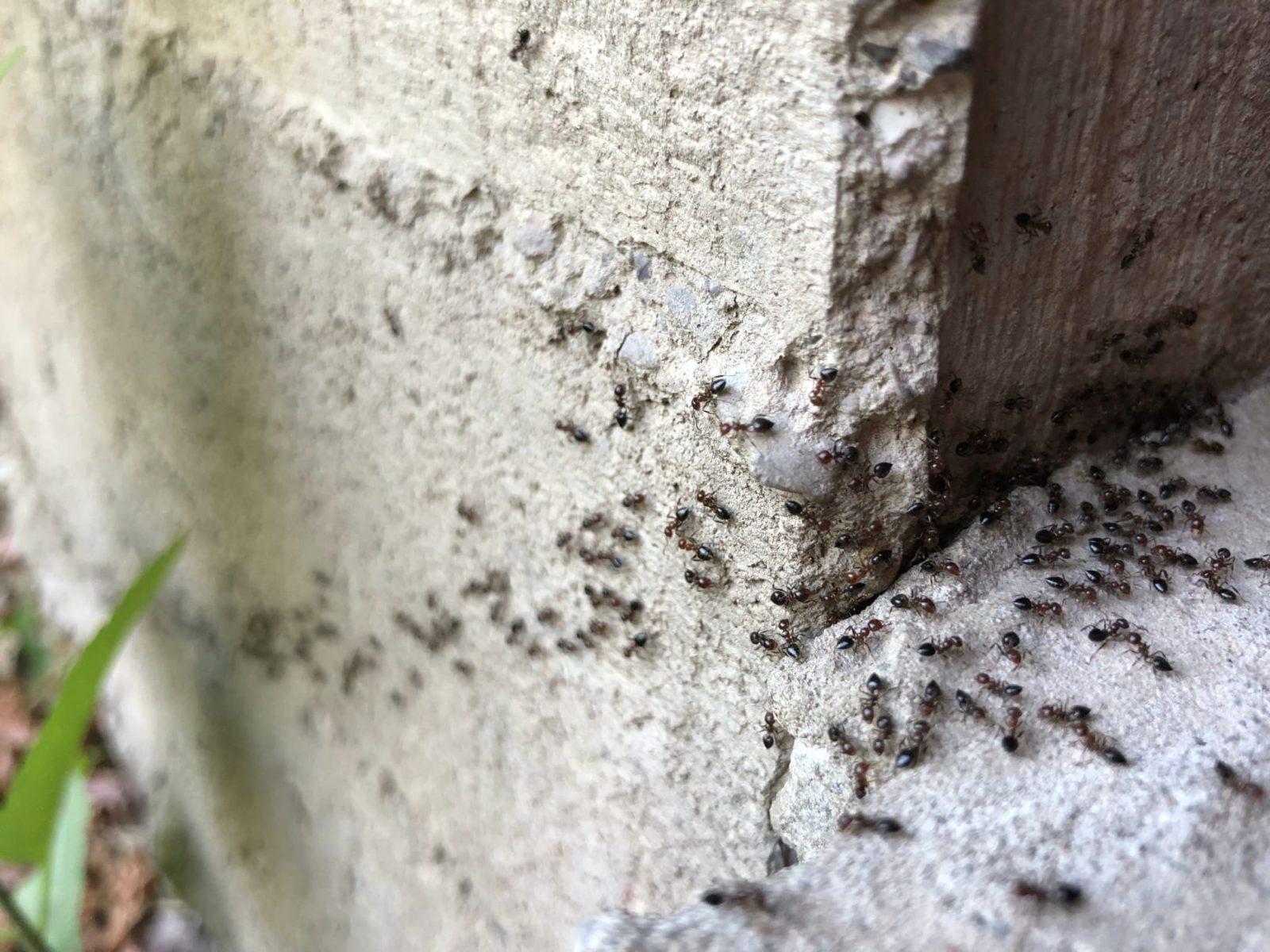 ant infestation in garden