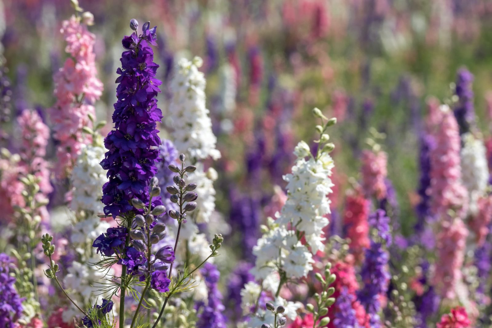 Delphiniums growing naturally in the wild