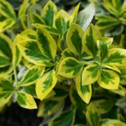euonymus leaves in green and yellow