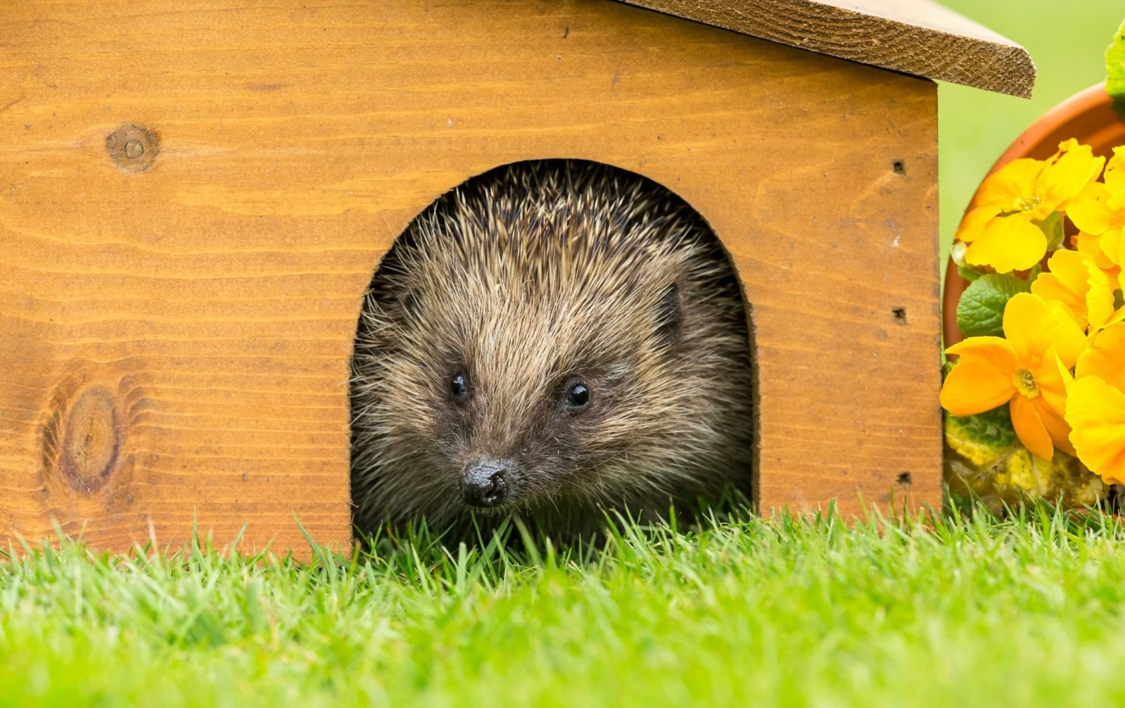 hedgehog poking its head out of its hutch