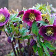 purple hellbore flowers in the garden