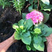 A gardener planting pink Hydrangea flower in ericaceous soil