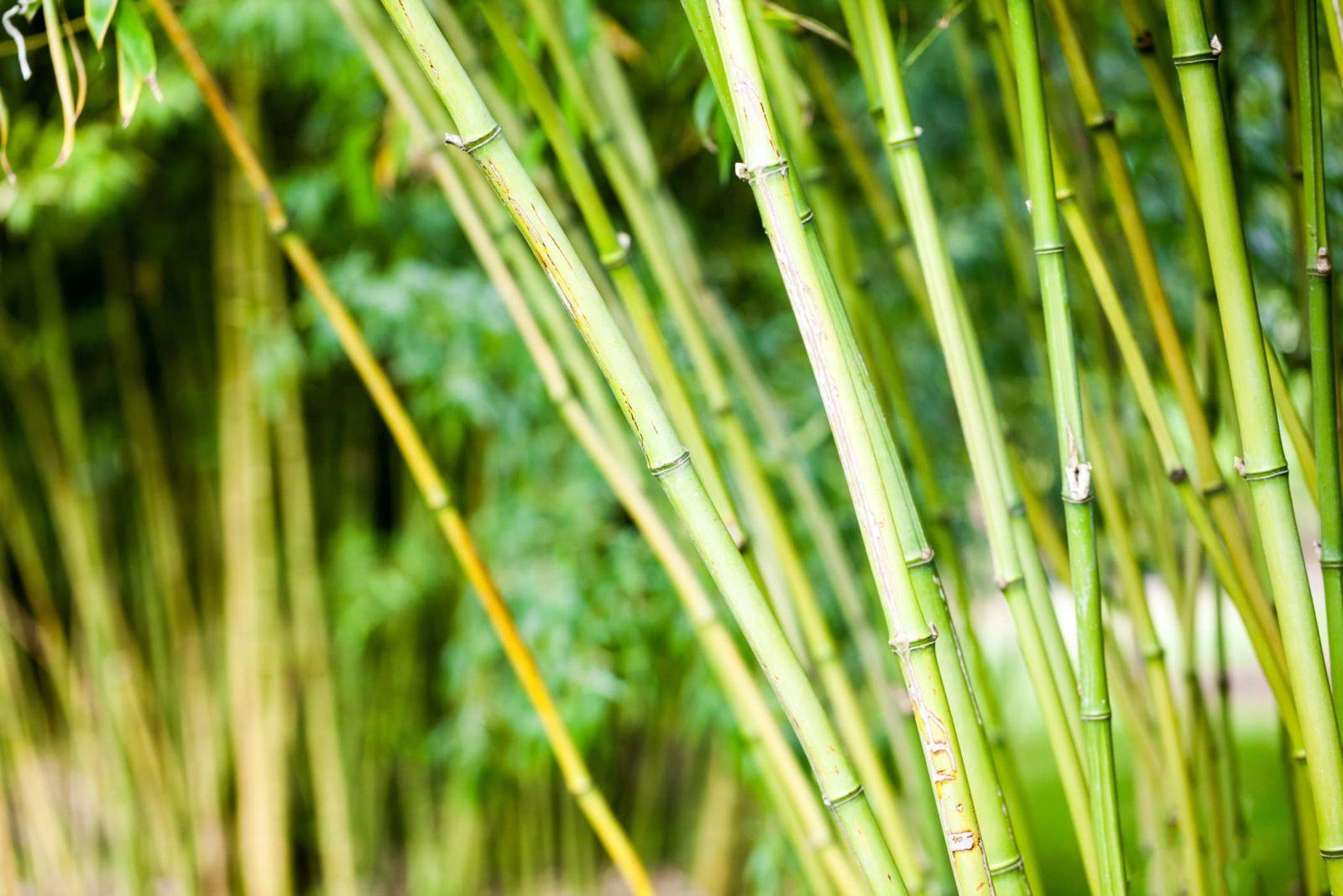 bamboo in a London garden
