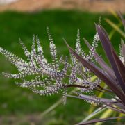 red and white leaves of cordyline plant in garden