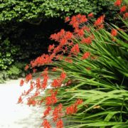 red crocosmia flowers with long green stems
