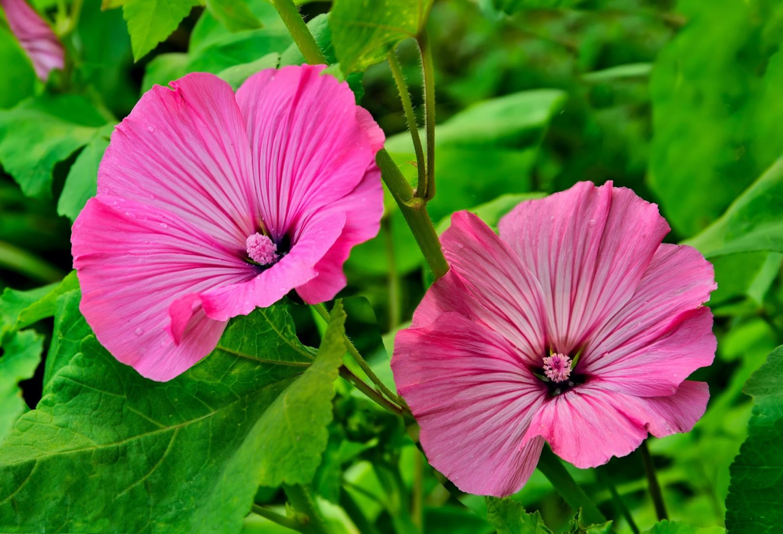 Two pink lavatera flowers with distinctive stripes