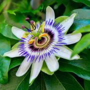 passion flower in a tropical garden