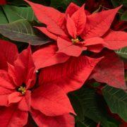 poinsettia plant up close