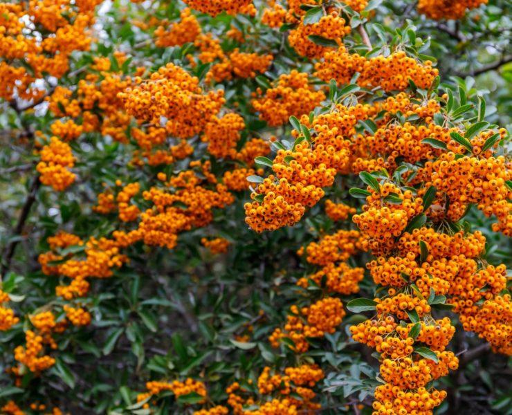 pyracantha firethorn with bright orange berries