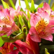 close up of pink alstroemeria flowers