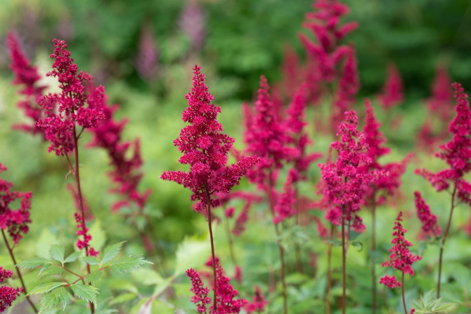 astilbe flowers bloom in a garden