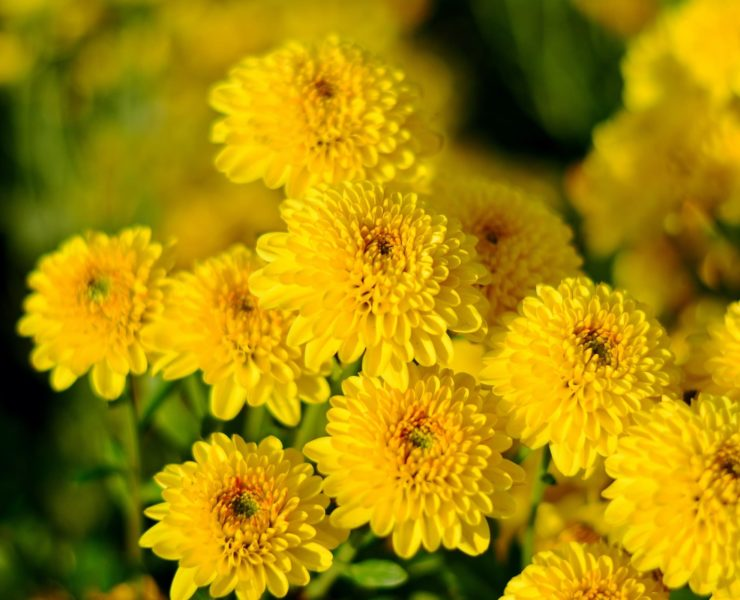 colourful yellow and orange chrysanthemums