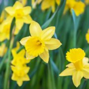 yellow daffodils up close