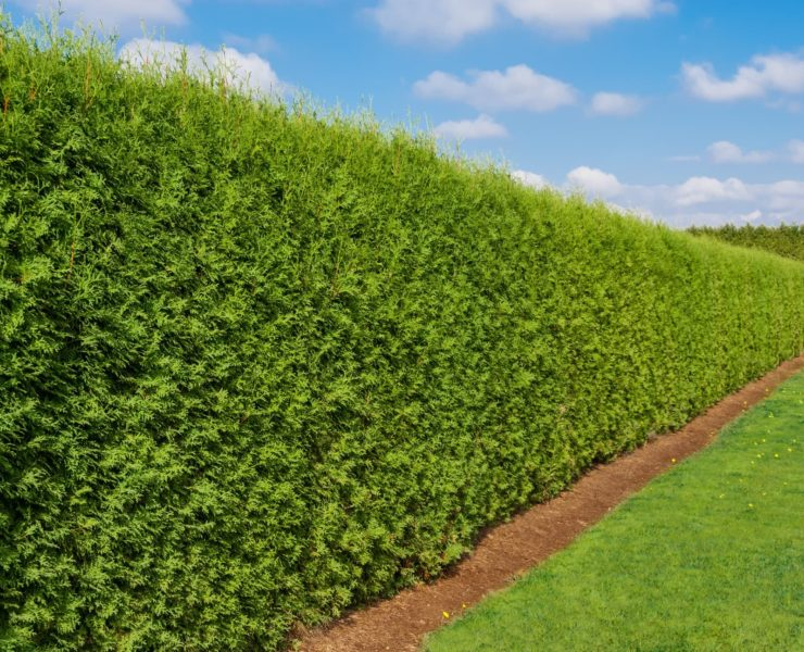 tall garden hedge with lawn