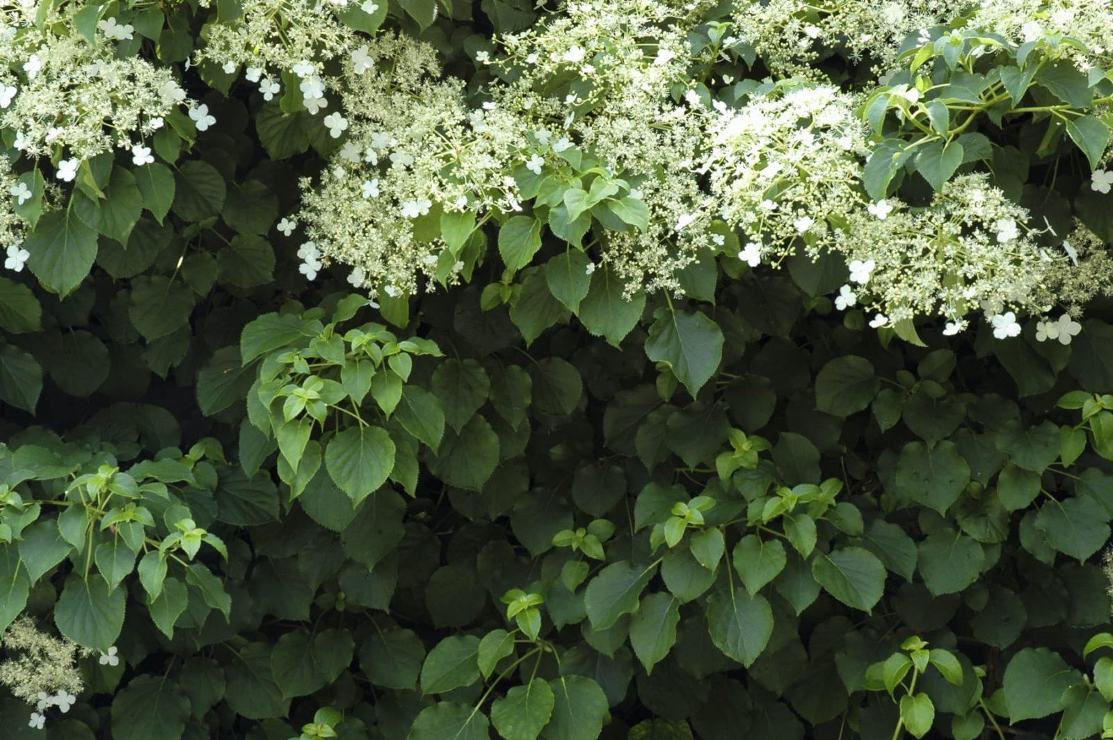 flowering climbing hydrangea