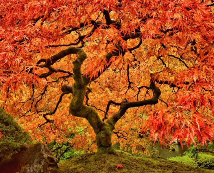 a vibrant orange japanese maple tree in autumn