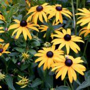 beautiful bright yellow rudbeckia flowers