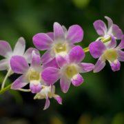 purple dendrobium flowers in singapore