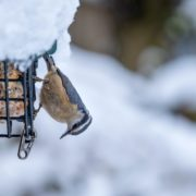 red breasted nuthatch eating fat cake from a metal cage with snow in background