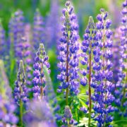 lupins blooming in a field
