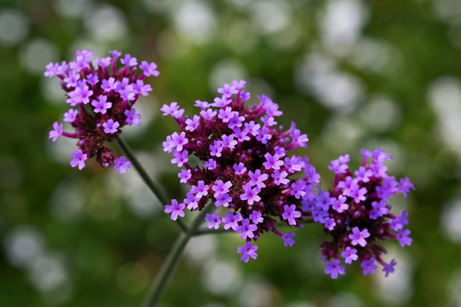 purple verbena bonariensis flowers