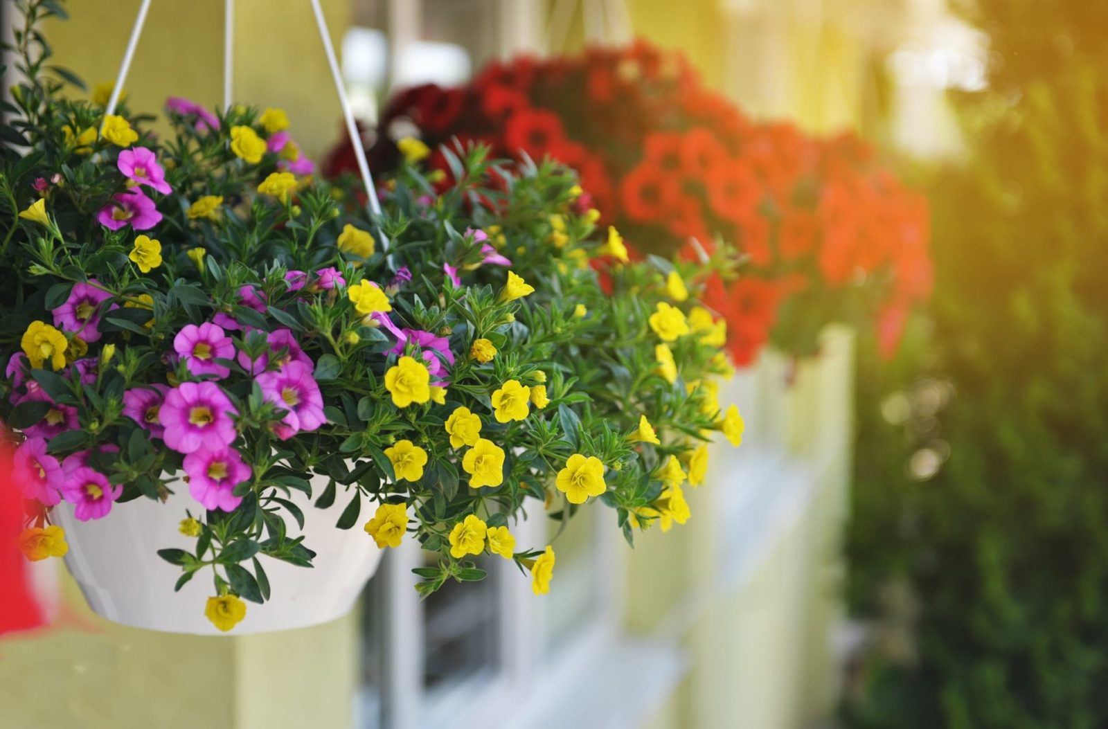 pink yellow and red plants in garden hanging baskets