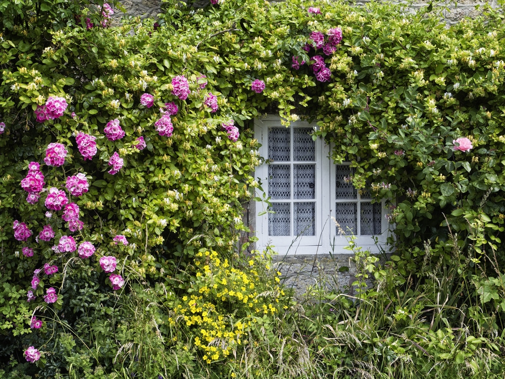 Rose and honeysuckle growing over a window