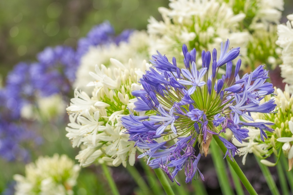 Agapanthus 'African Lily' in blue and white