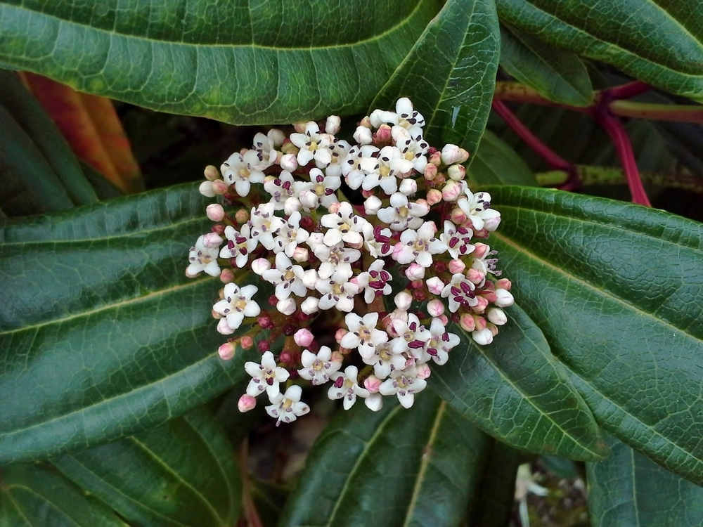 Viburnum davidii with glossy green leaves and clustered white flowers