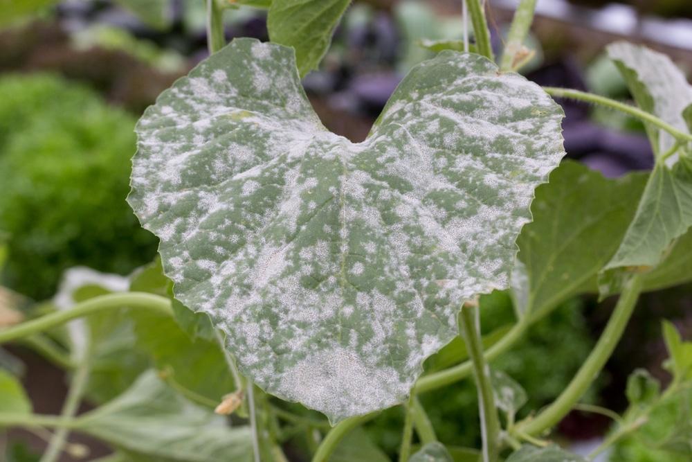 powdery mildew on the leaf of a flower