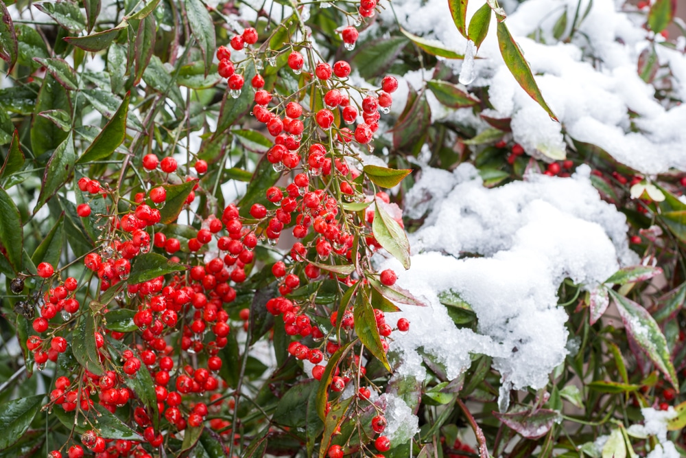 snow piled on top of nandina domestica plant