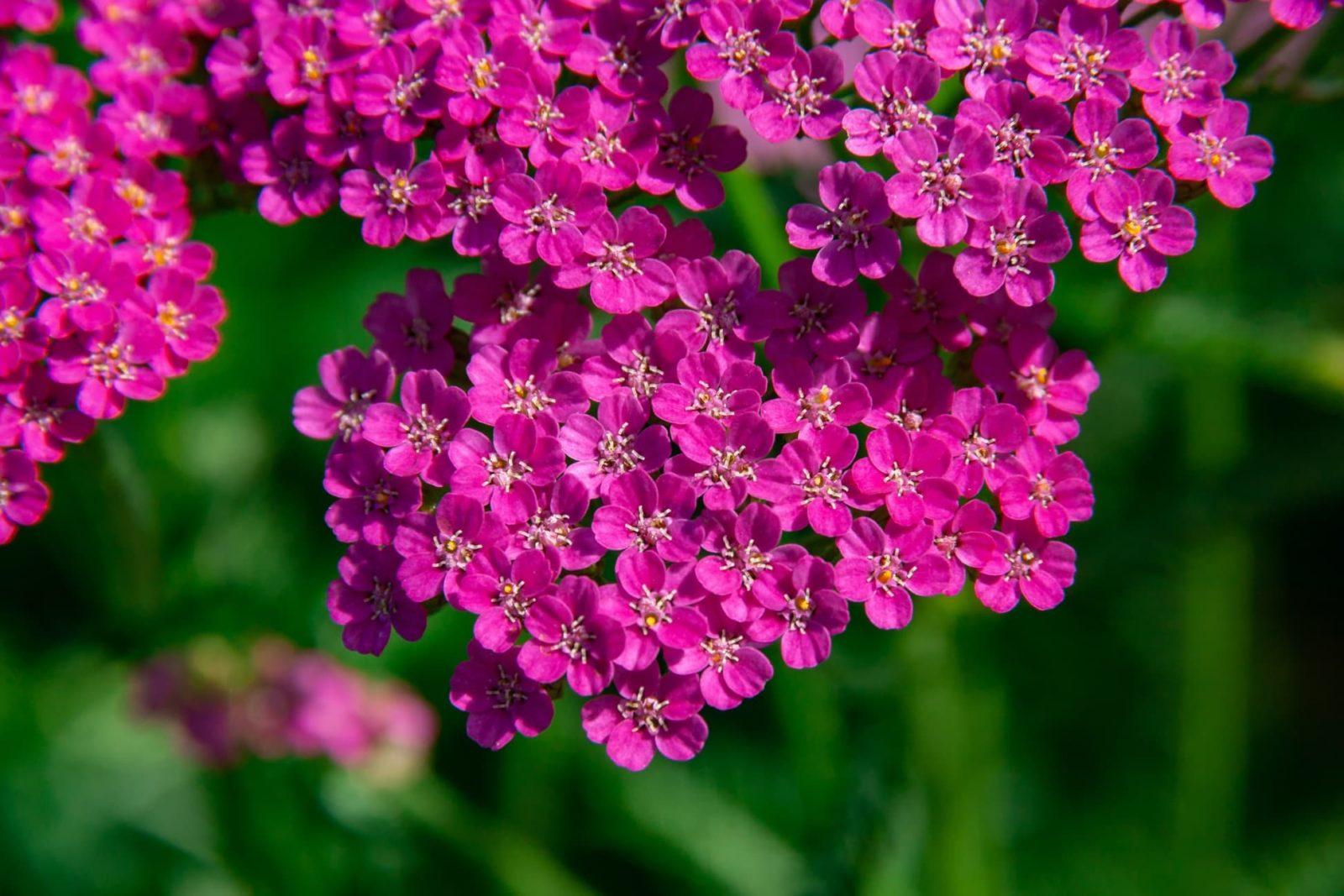 purple achillea flowers