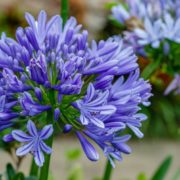 close up of a purple agapanthus flower