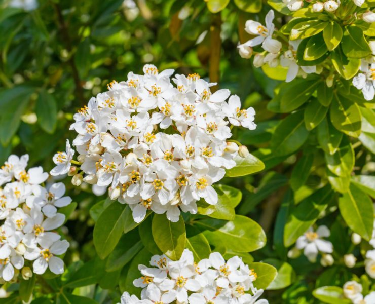 white flowers of mexican orange blossom in the garden