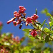 close up of the escallonia plant