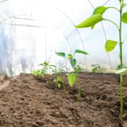 bell pepper plants growing in a greenhouse