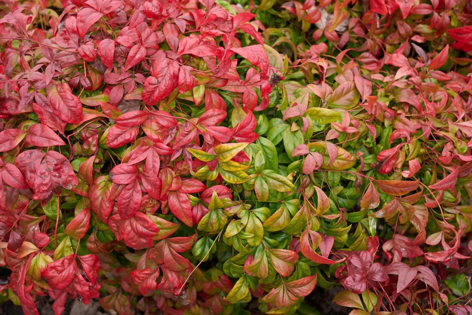 nandina domestica close up of leaves