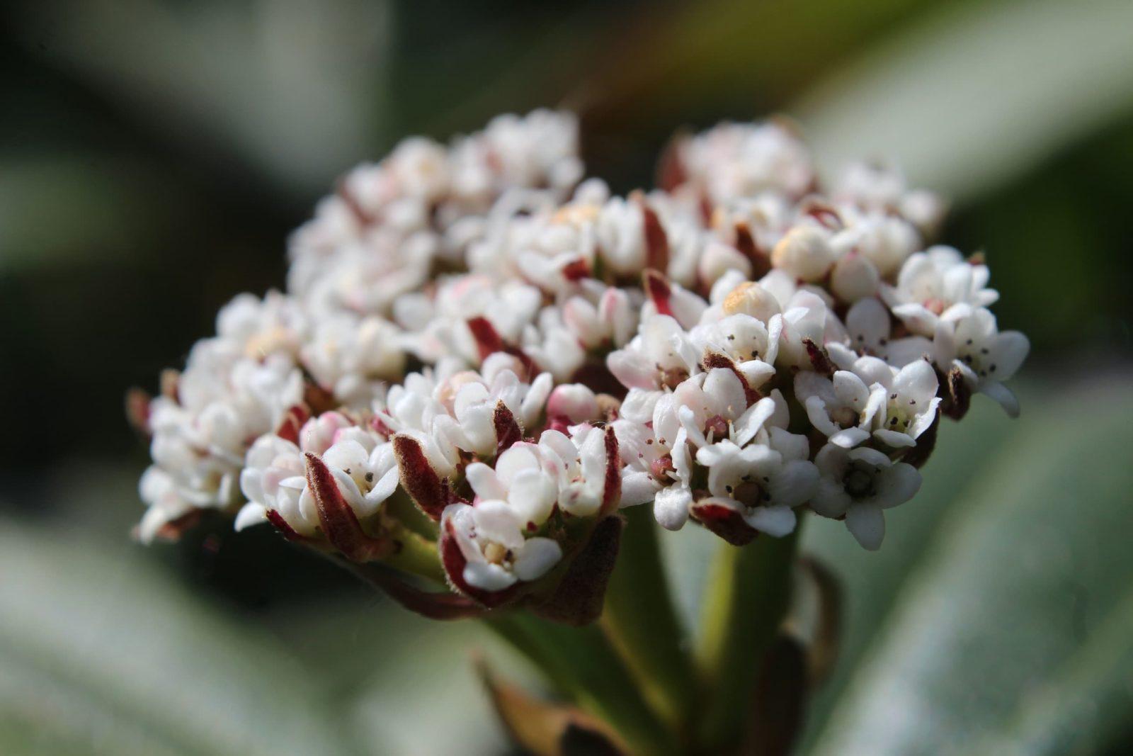 close up of the white leaves of vibernum davidii