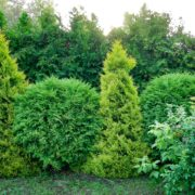 two types of thuja used as a garden hedge