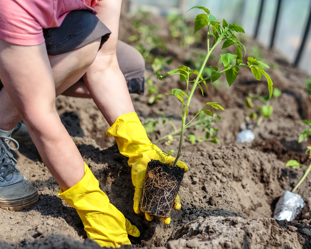 planting a tomato plant in the ground