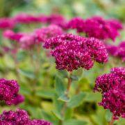 purple ornamental sedum in the garden