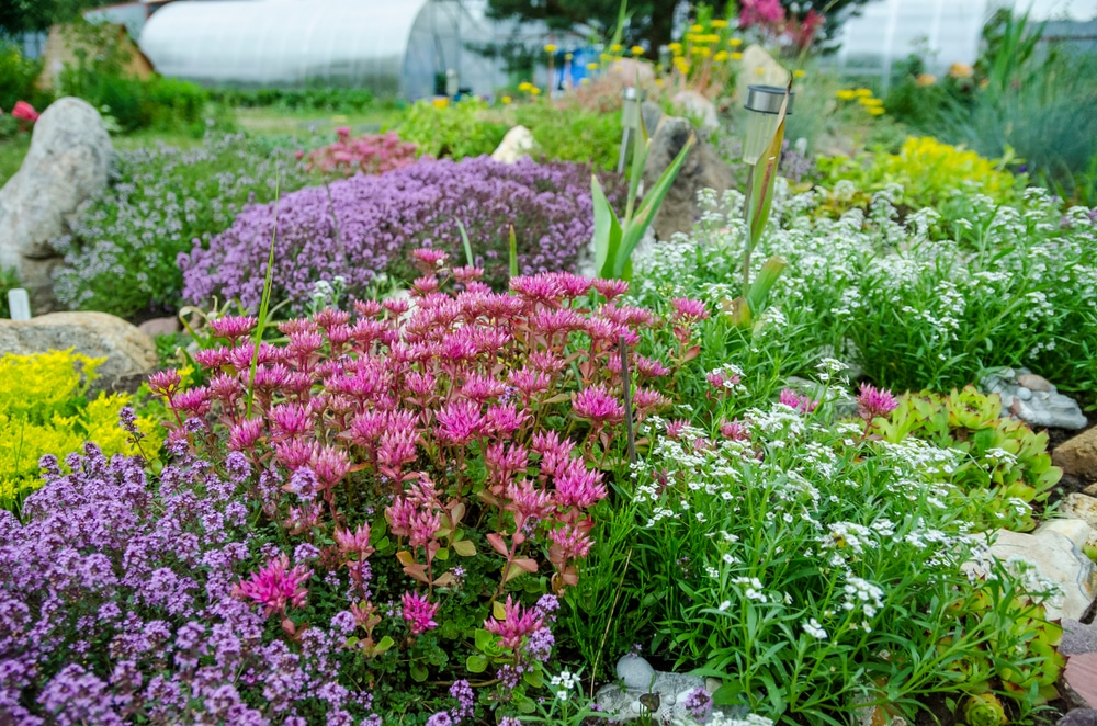 flowering sedum plants in a stone garden