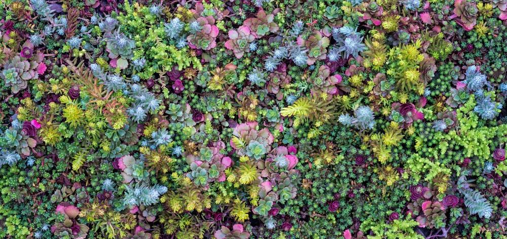 Variety of multicoloured sedum in rock garden