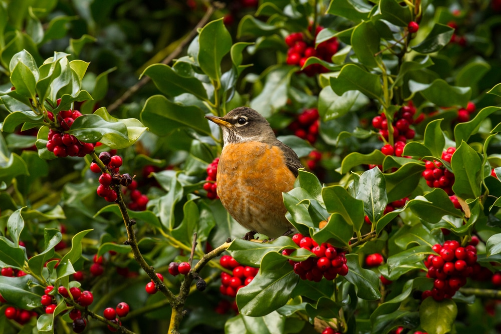 A robin perched on a holly branch
